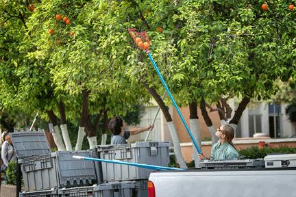 Harvesting oranges from ASU's Tempe Campus Arboretum